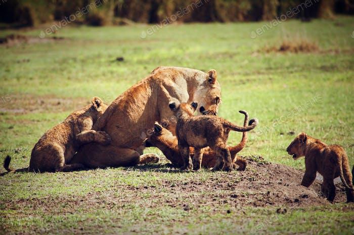 Kleine Löwenjungen mit Mutter. Tansania, Afrika