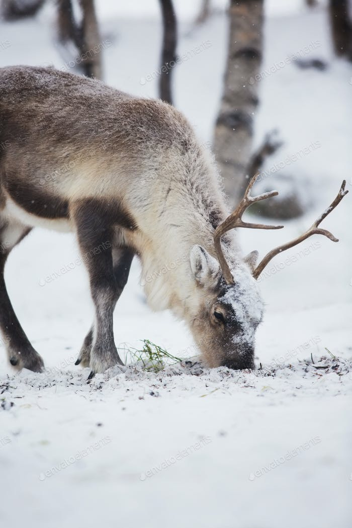 Reindeer Eats in a Winter Forest
