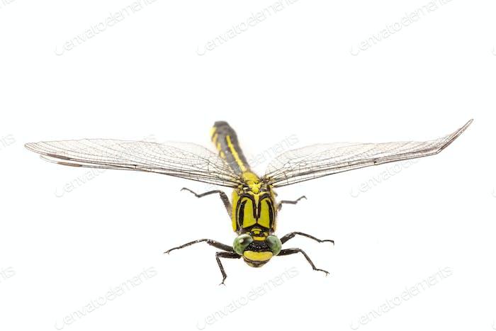 Common clubtail (Gomphus vulgatissimus) on a white background