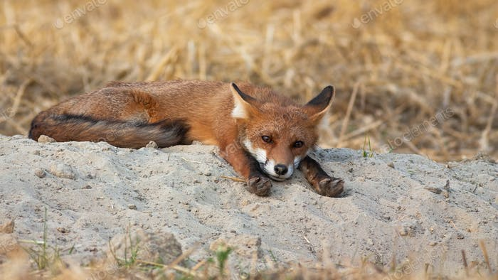 Sleepy red fox lying with paws stretched forwards on summer morning in nature