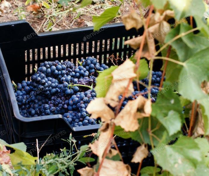 Vendemmia - Weinlese in einem Weinberg