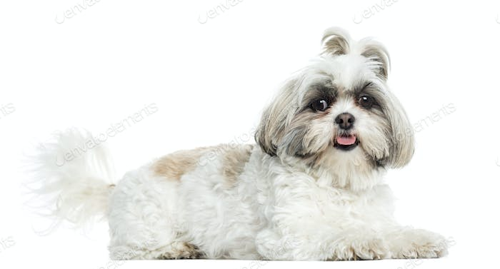 Shih Tzu panting, lying, isolated on white