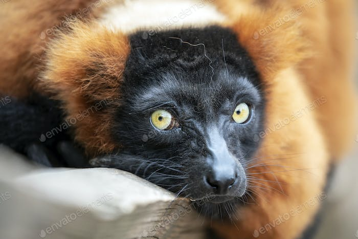 close-up view of beautiful wild Red lemur in nature
