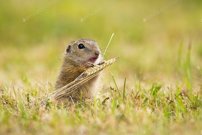 European ground squirrel feeding with grain on a meadow in summer