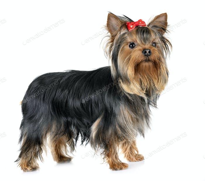 yorkshire terrier in studio