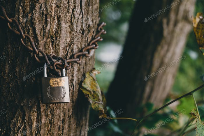 Tree locked with padlock and chain