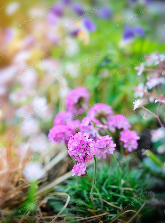 Flowers decorative schivereckia on natural background, springtim