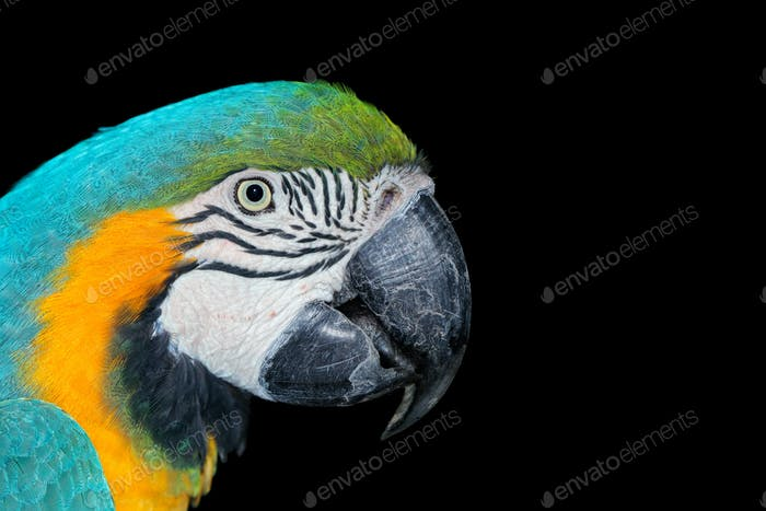 Blue-and-yellow Macaw on black