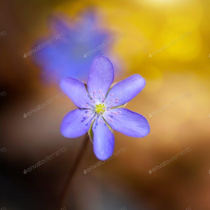 Frühlingsblume Nahaufnahme Hepatica nobilis.
