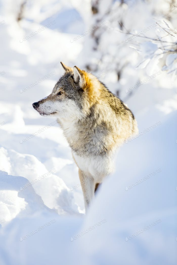 Wolf stands in beautiful winter landscape