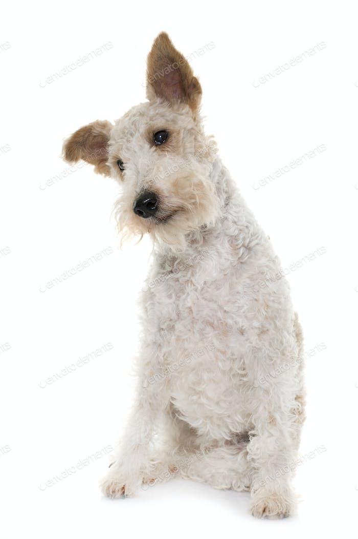 female fox terrier