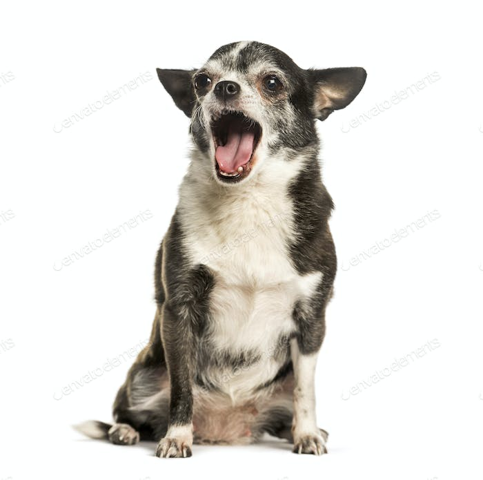 Chihuahua yawning against white background