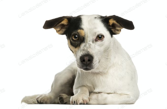 Jack russel terrier lying, looking at the camera, isolated on white