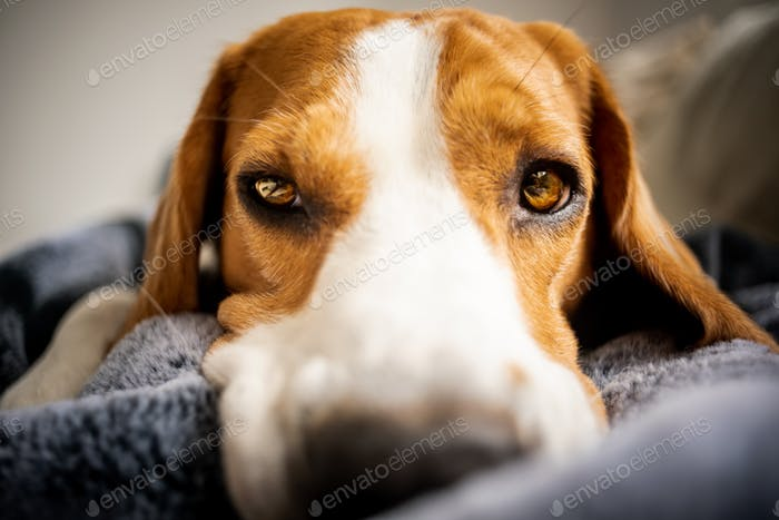 Beagle dog Laying on blanket on a couch.