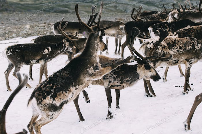 Norwegian reindeer fighting on a snow patch in the mountains