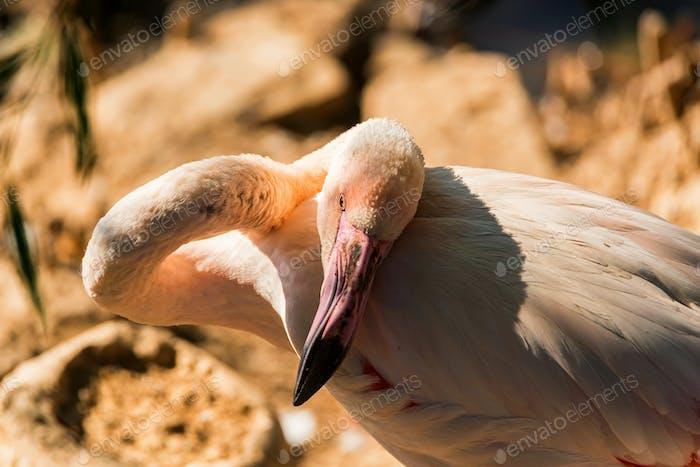 Portrait of beautiful Greater flamingo or Phoenicopterus roseus