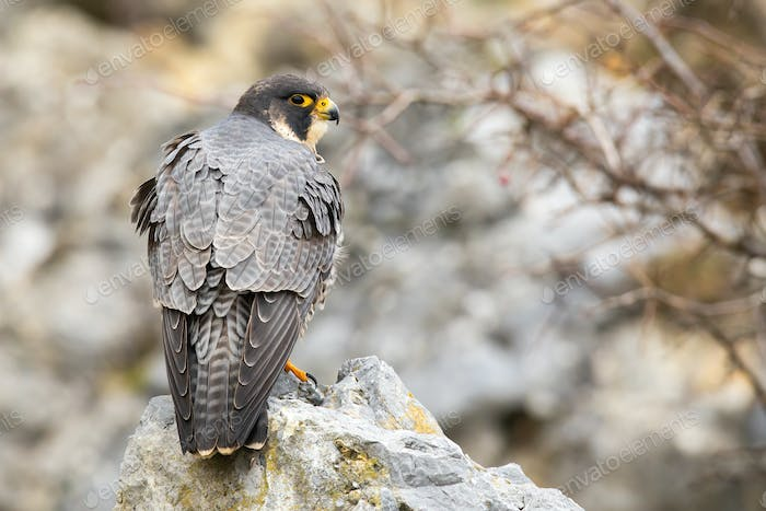 Dominant peregrine falcon standing on rock from back