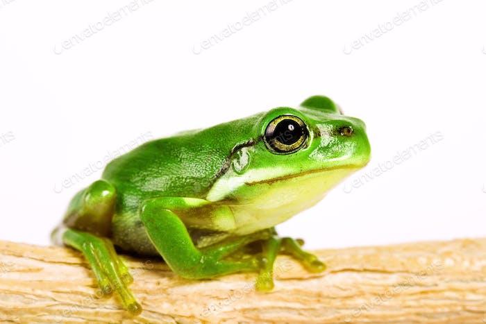 tree frog on stem of plant