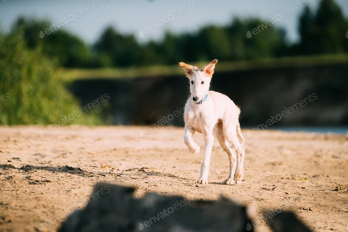 Walking Puppy Of Russian Wolfhound Hunting Sighthound Russkaya P