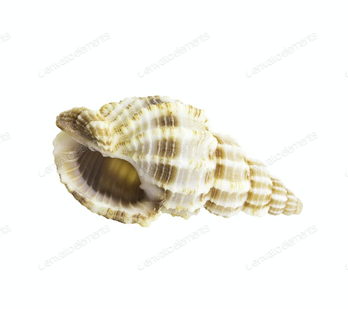 Conch shall isolated on white14