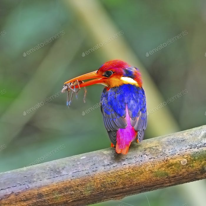 female Black-backed Kingfisher