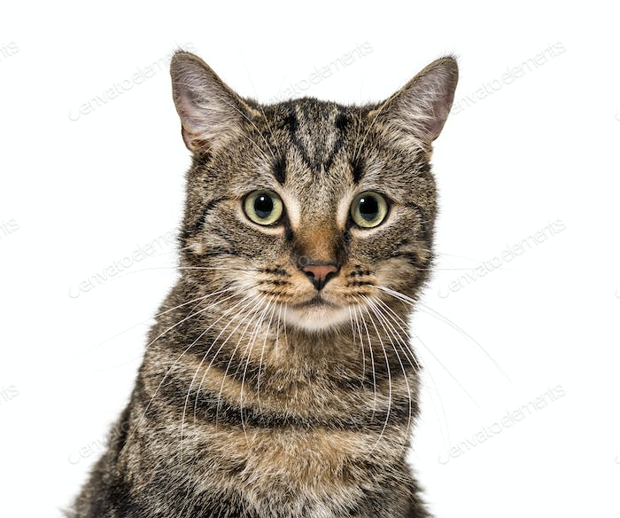 Close-up on a striped mixed-breed cat (2 years old) isolated on white