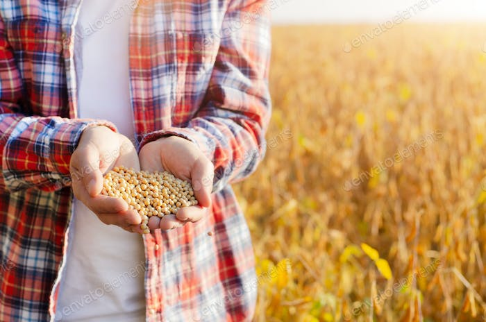 Handful of Soy beans in farmer hands on field background evening sunset time