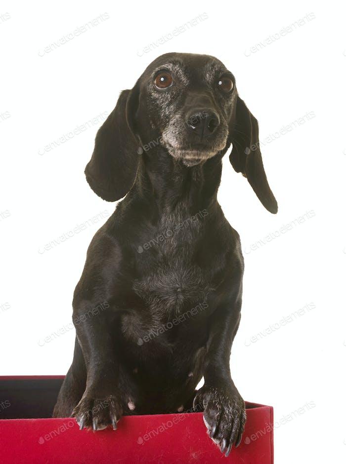 old black dachshund