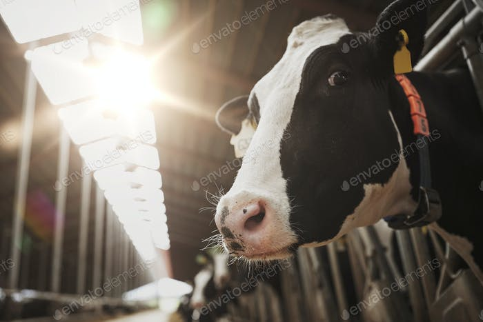 herd of cows in cowshed on dairy farm