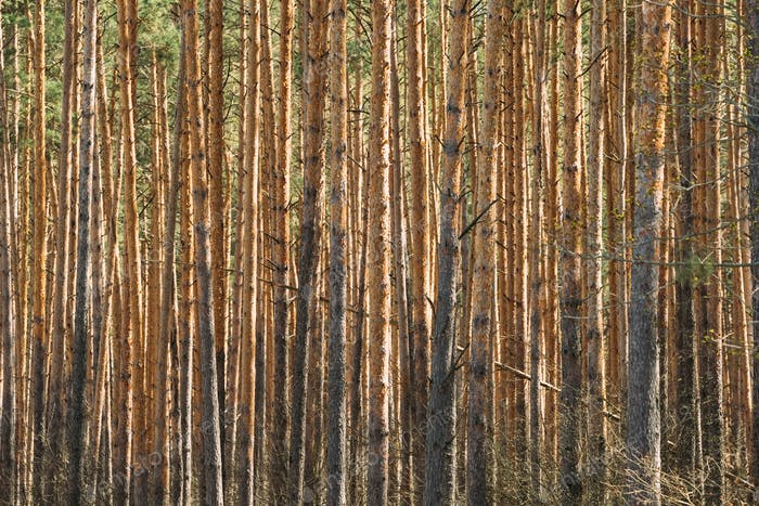 Sunny Day In Pine Forest. Close View Of Trunks In Coniferous For