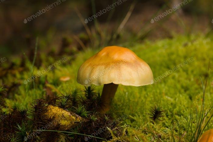 Sulphur Tuft Mushroom