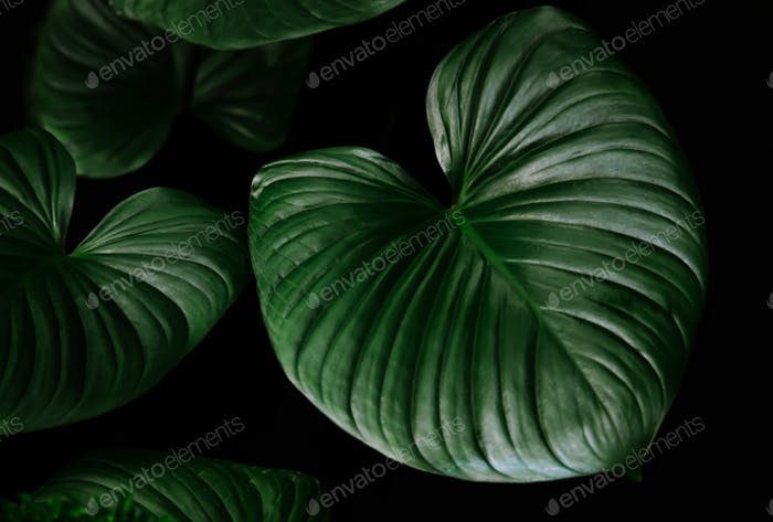 Dark green leaf