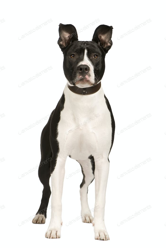 American Staffordshire terrier (8 months)