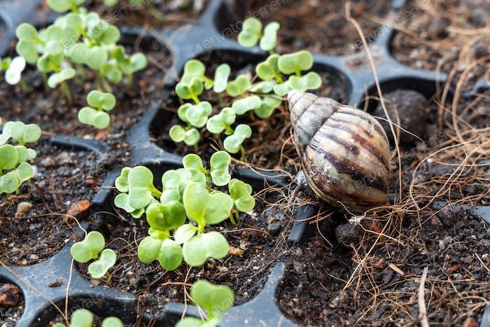 El  caracol de jardín es una amenaza para el brote vegetal germinado. Se va a comer los brotes
