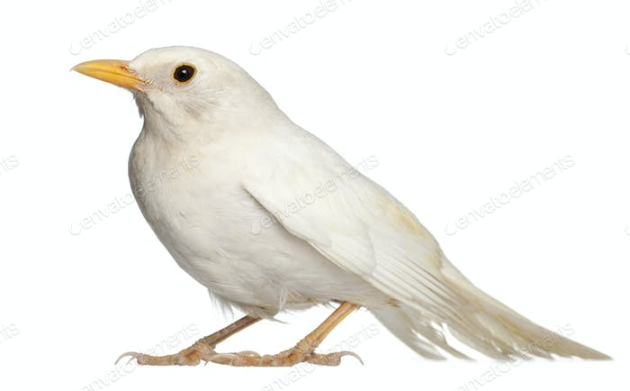 White Common Blackbird - Turdus merula