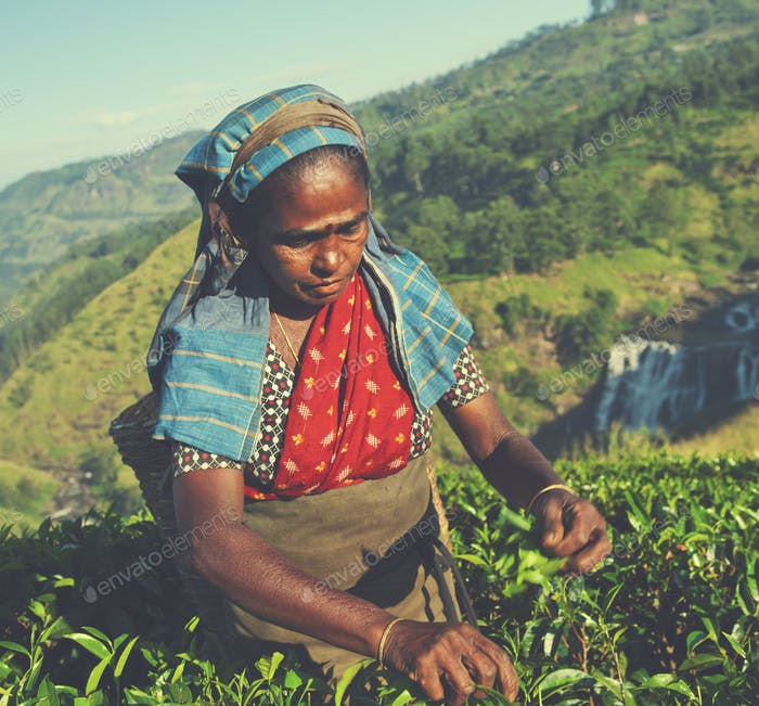 Tea Picker Picks Leaves Agriculture Concept