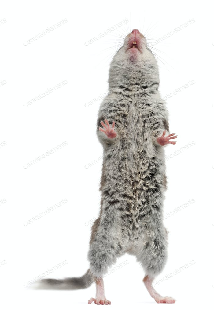 Garden Dormouse, Eliomys Quercinus, standing up in front of white background