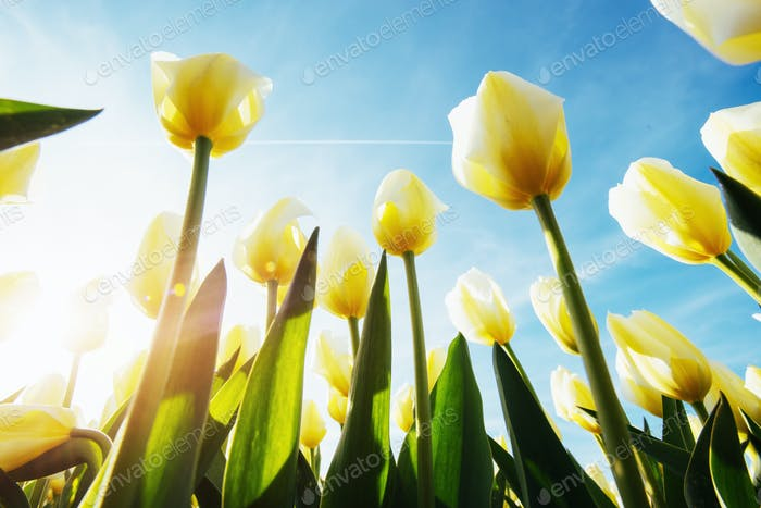 Yellow tulips in the sunlight against
