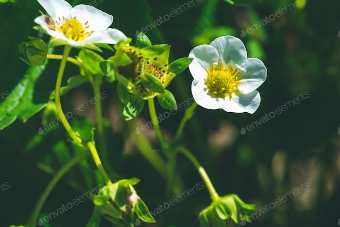 Blüte von Erdbeerblume auf einem abgeflachten