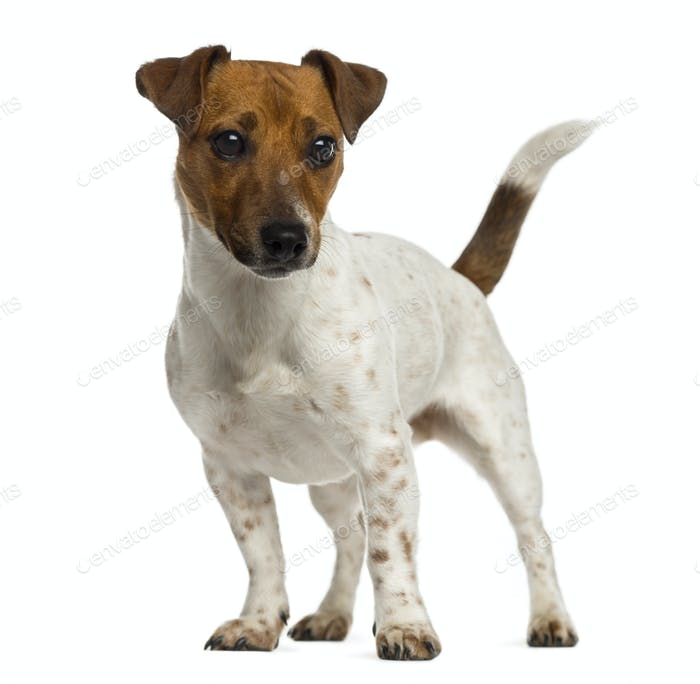 Jack Russell Terrier standing and looking away