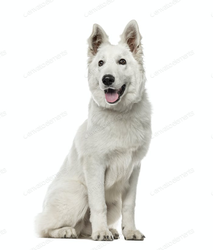 White Swiss Shepherd Dog sitting, isolated on white