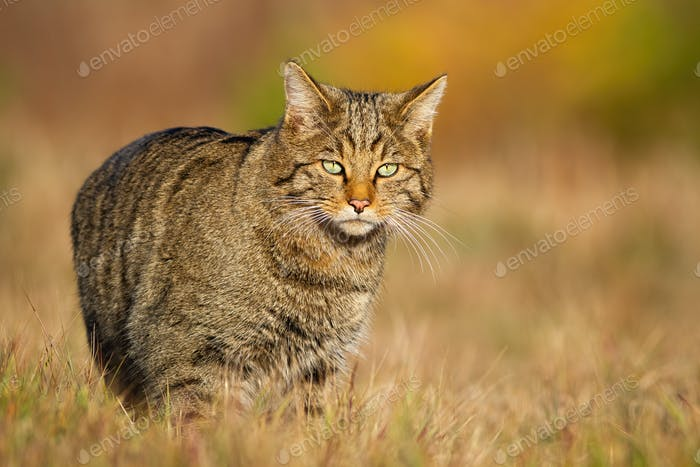 European wildcat walking on sunlit meadow in autumn nature