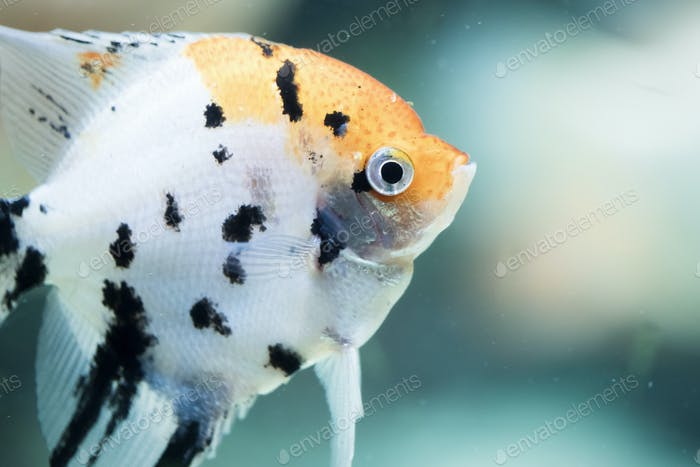 Pterophyllum scalare, also referred to as angelfish or freshwater angelfish