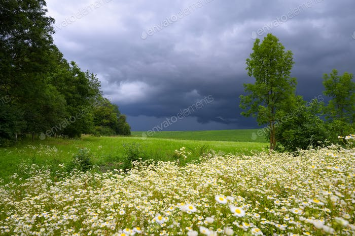 Rural field with wild chamomile and storm clouds
