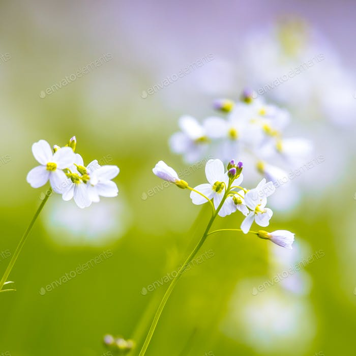 Cuckoo flower with blurred Background square format