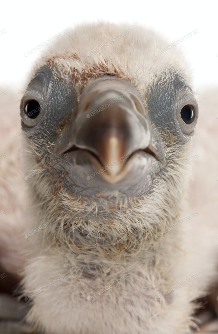 Close-up of Griffon Vulture, Gyps fulvus, 4 days old, in front of white background