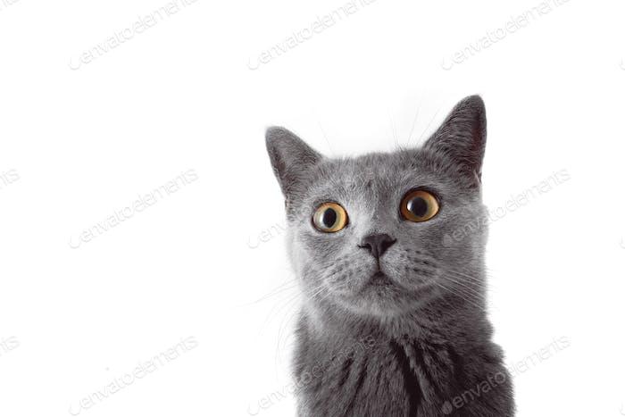 Graue Katze mit Blick auf die Kamera. Isoliert auf weißem Hintergrund