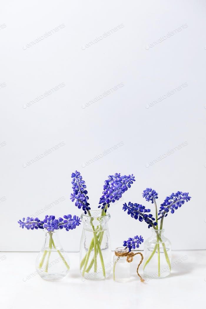 Tender blue muscari flowers in glass jugs