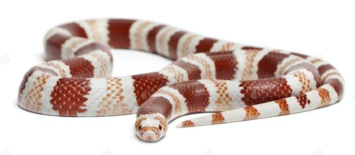 Albino Tangerine Honduran milk snake, Lampropeltis triangulum hondurensis