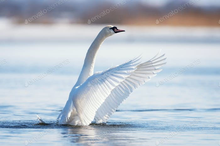 Mute swan flapping wings
